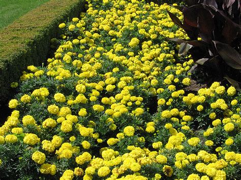 Yellow Marigold inca yellow marigold tagetes erecta inca yellow in