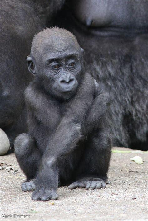 western lowland gorilla cincinnati zoo botanical garden