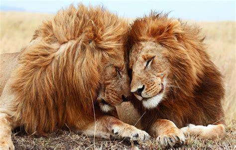 imagenes de leones full hd fondo escritorio paisaje leones