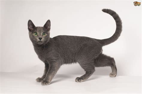 Blue Cat For russian blue cat breed information buying advice photos