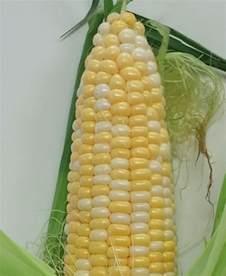 bi color corn organic sweet bi color corn florida fields to forks