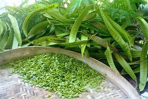 Biji Bidara Cina petai cina lamtoro ciri ciri tanaman serta khasiat dan manfaatnya situs tanaman obat indonesia