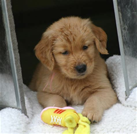 golden retriever puppies for sale in tn image gallery retriever breeders