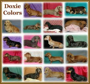 dachshund colors akc dachshund colors and patterns patterns kid