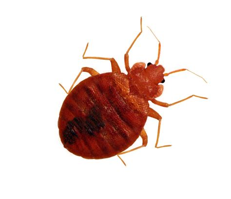 Image Bed Bug by Get The Facts On Bedbugs Jimmybugs