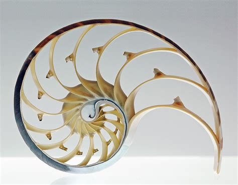 nautilus cross section nautilus shell cross section a photo on flickriver