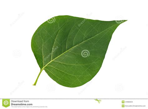 Leaf White green leaf lilac on white background stock photo image