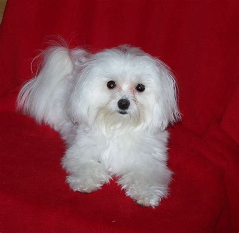 pictures of maltese dogs maltese puppies rescue pictures information temperament characteristics