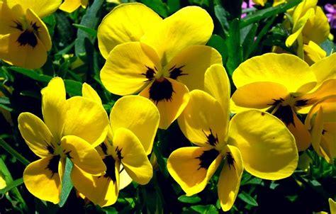 fiori pensiero viola pensiero coltivazione