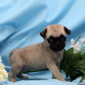 pug puppies for sale in maryland miniature pug puppies for sale in de md ny nj philly dc and baltimore