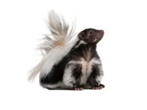 skunk in my backyard kansas city metro skunk control critter control kansas