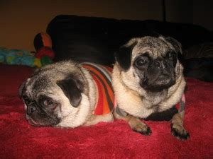 pug rescue indiana non profits indianapolis in friendly indy