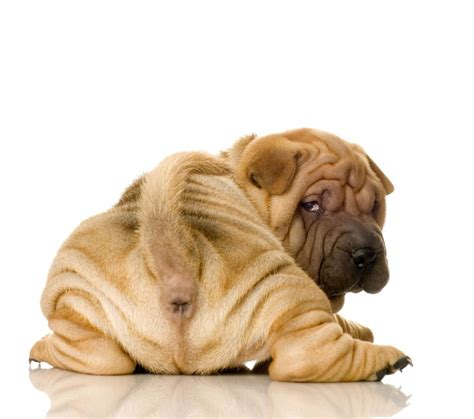 sharpay puppy shar pei