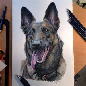 belgian malinois color pencil drawing by atomiccircus on