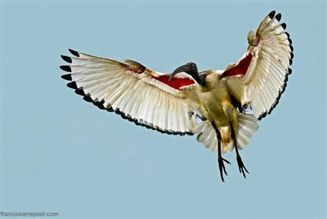 bid on flights sacred ibis south africa in flight photo by frans