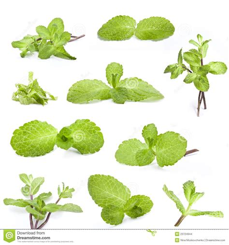 Fresh Mint Collection collection of fresh mint stock images image 23724944