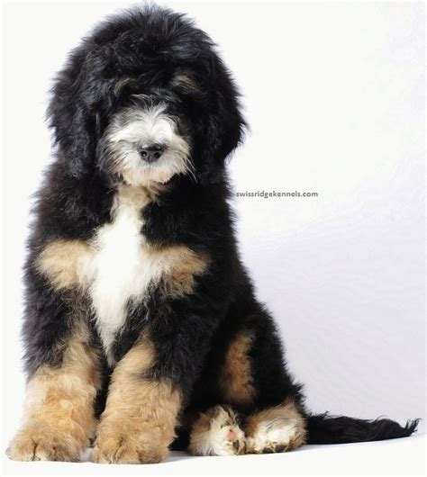 bernese mountain poodle puppy bernedoodle bernese mountain and poodle hypoallergenic and doesn t shed i