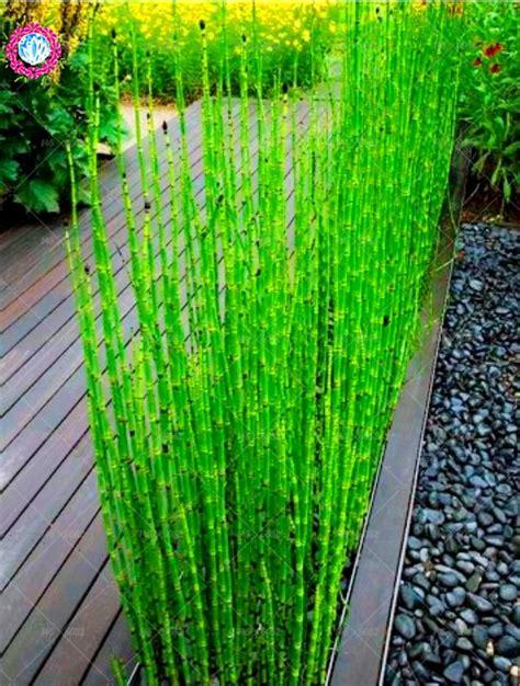 pcs bag bonsai bamboo plants phyllostachys heterocycla