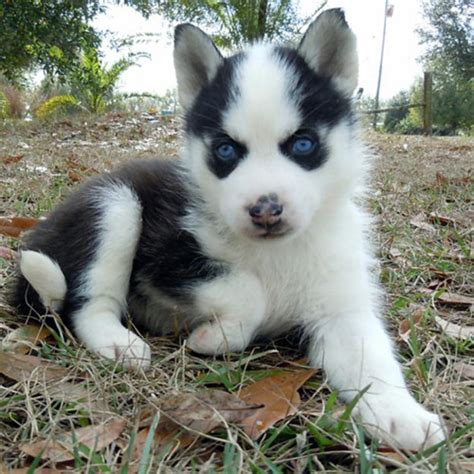 pictures of husky dogs husky puppies
