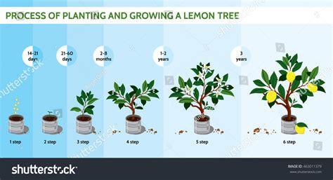 process planting growing lemon tree lemon stock vector