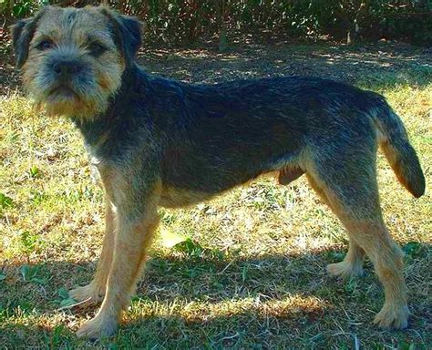Border Terrier Shed by Grooming