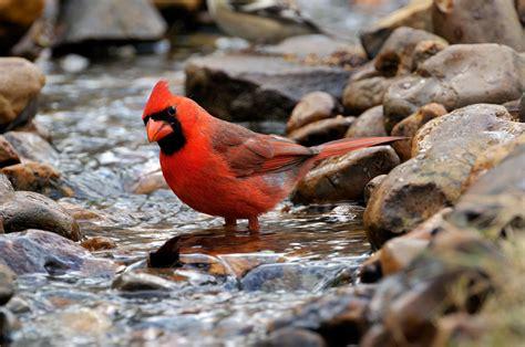 bird filmed feeding goldfish here s why