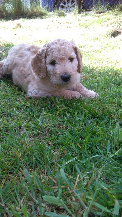 goldendoodle puppy uk f2b goldendoodle puppies doune perthshire pets4homes