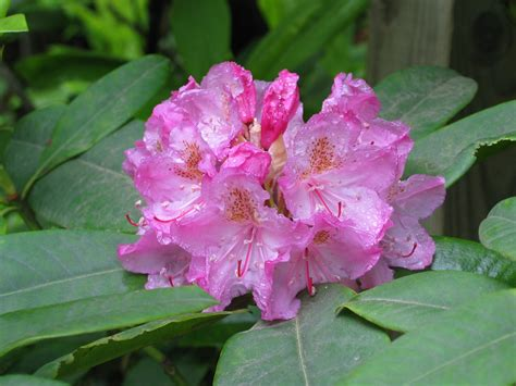 state flowers coast rhododendron rhododendron macrophyllum