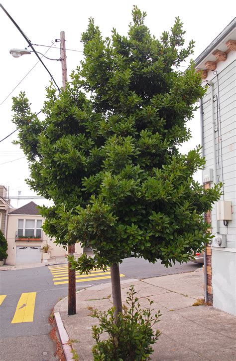 How To Topiary A Bay Tree - grecian laurel friends of the urban forest