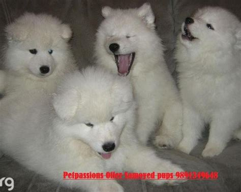 samoyed puppy price samoyed puppies for sale india quotes