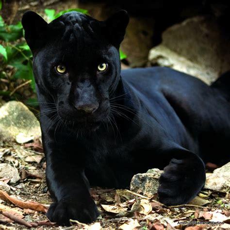 imagenes de un jaguar negro jaguar negro abrazando piedra galer 237 as fotonatura org