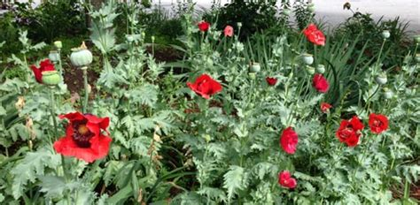 how to grow oriental poppies in your garden today s