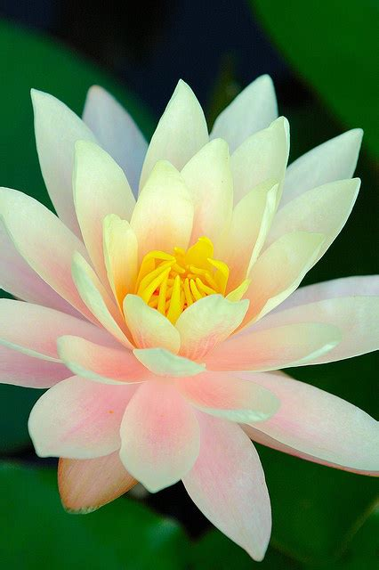 most beautiful lotus flower image gallery most beautiful lotus flower