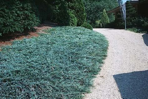 blue rug juniper ground cover pin by garner on the great outdoors