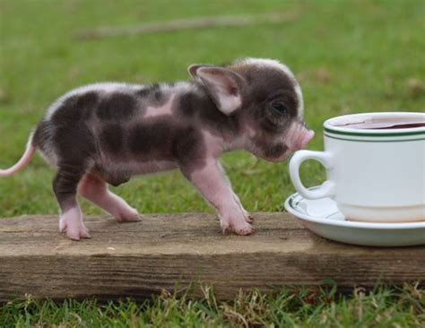 Miniature Pigs: Pets of the Future ? Zooillogix