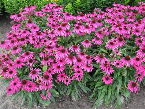 echinacea butterfly purple emperor pp 24459 plants nouveau