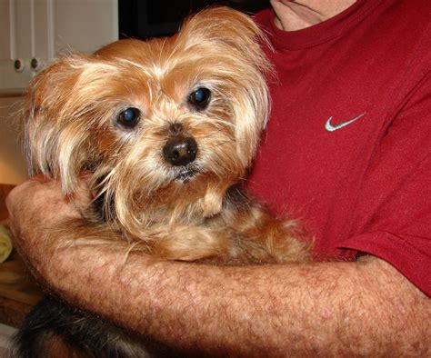 yorkie spay recovery magnolia will need to heartworm treatments before she is available for adoption