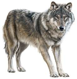 Bowed Windows wolf png clip art best web clipart