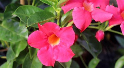 dipladenia fiore dipladenia piante da giardino coltivare mandevilla