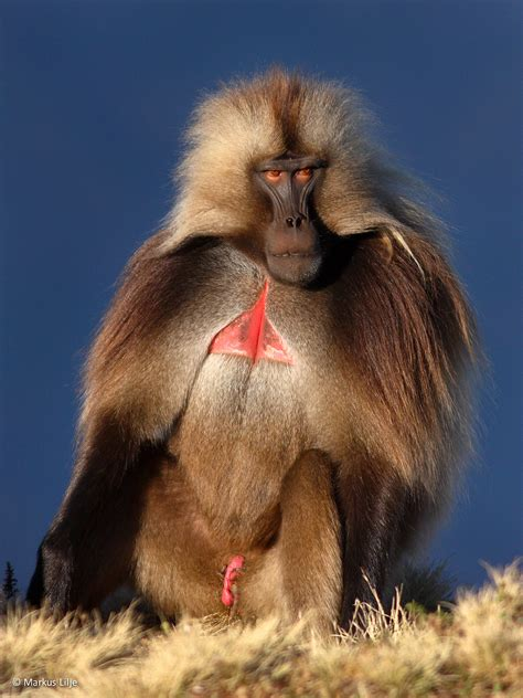 geladas  ethiopia  adam riley rockjumper wildlife tours