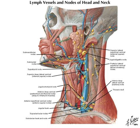 lymph node locations lymph node locations health best can t lose this more lymph