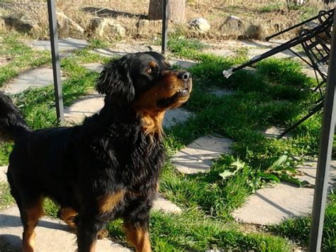 rottweiler golden retriever regalo rottweiler incrocio golden retriever petpassion