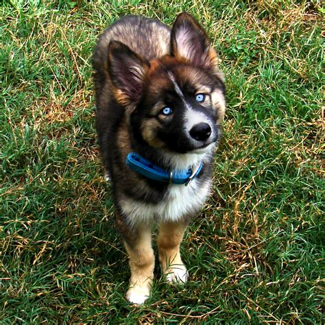 border collie husky mix puppy collie golden retriever husky mix animals husky mix collie and