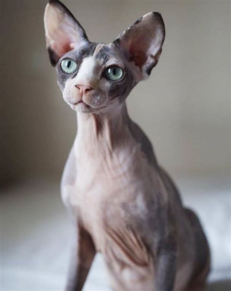 adoption wi sphynx cat adoption wisconsin cats