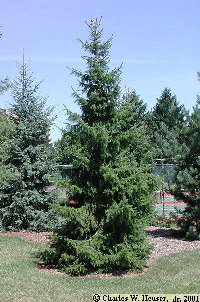 serbian spruce tree 17 best ideas about serbian spruce on