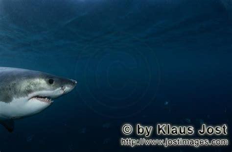 baby shark eyes baby great white shark 00015345