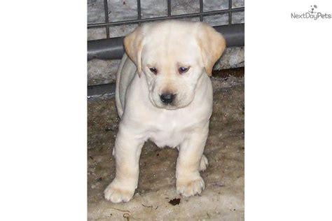 lab puppies for sale in missouri labrador retriever puppy for sale near springfield missouri c25cb0cb 98a1