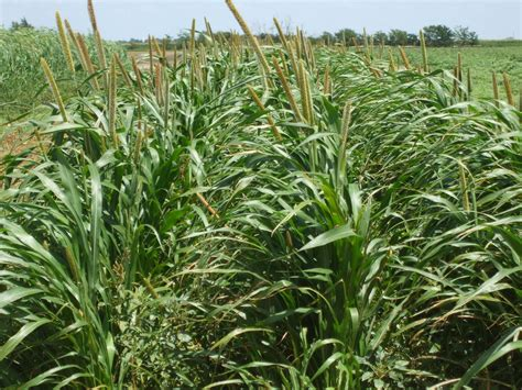 Millet For The And pearl millet junglekey in image