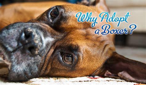 boxer puppies sc adoption blue ridge boxer rescue