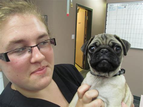 pug abuse abuse pets and vets valley veterinary services your local complete care